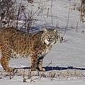 Lynx In Winter by Vic Sharratt