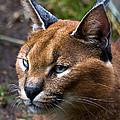 Lynx by James Begley