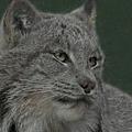 Lynx Painterly by Ernie Echols