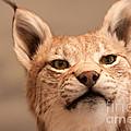 Lynx Portrait by Johan Larson