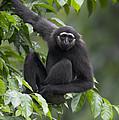 M�llers Bornean Gibbon Hylobates by Cyril Ruoso
