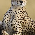 Maasai Mara Cheetah  by Suzi Eszterhas