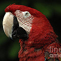 Macaw In Red by Bob Christopher