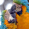 Macaw by J Michael Elliott
