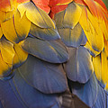 Macaw Parrot Plumes by Adam Romanowicz