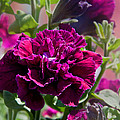 Maco Petunia Flower Double Burgundy Madness Art Prints by Valerie Garner