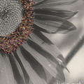 Macro Sunflower In Partial Color by Smilin Eyes  Treasures