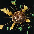 Macrophage Engulfs Bacteria by Francis Leroy, Biocosmos