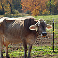Mad Cow Tail Swish by LeeAnn McLaneGoetz McLaneGoetzStudioLLCcom