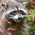 Mad Raccoon by Randy Harris