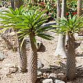 Madagascar Palms by Carol Ailles