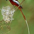 Madagascar Paradise Flycatcher by Cyril Ruoso