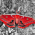 Madam Moth - Red White And Black by Al Powell Photography USA
