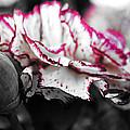 Magenta Carnation by Sumit Mehndiratta