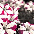 Magenta Flowers by Sumit Mehndiratta