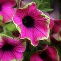 Magenta Petunia by John Herzog
