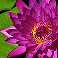 Magenta Waterlily by Dave Mills