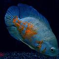 Magic Fish Name Oscar  by Colette V Hera  Guggenheim