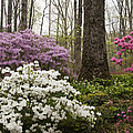 Magical Azaleas At Callaway Botanical Gardens by Kathy Clark