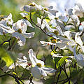 Magical White Flowering Dogwood Blossoms by Kathy Clark