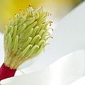 Magnificant Magnolia Macro  by Sabrina L Ryan