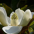 Magnificent Alabama Magnolia Blossom by Kathy Clark