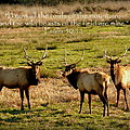 Magnificent Bull Elk Psalm 50 by Cindy Wright