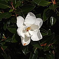 Magnolia by Judge Howell