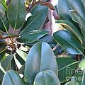 Magnolia Leaves 1 by Rod Ismay