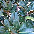 Magnolia Leaves 2 by Rod Ismay