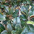 Magnolia Leaves 3 by Rod Ismay