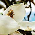 Magnolia by Lisa Knechtel