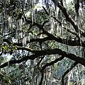 Magnolia Meets Live Oak by Carol Groenen