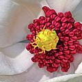 Magnolia Sieboldiana Closeup by Dave Mills