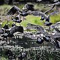 Magpie Geese In Flight Mcminn Lagoon by Douglas Barnard