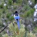 Magpie In Snow by Dorrene BrownButterfield
