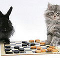 Maine Coon Kitten And Black Rabbit by Mark Taylor