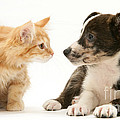 Maine Coon Kitten And Mongrel Dog by Mark Taylor