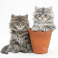 Maine Coon Kitttens by Mark Taylor