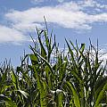 Maize Crop by Steev Stamford