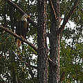 Majestic Bald Eagle by Clayton Bruster