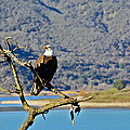 Majestic Eagle by Diana Hatcher