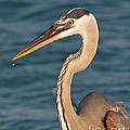 Majestic Great Blue Heron by Stephen Whalen