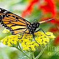 Majestic Monarch by Dawna Moore Photography