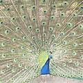 Majestic Peacock by Sonali Gangane