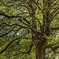 Majestic Tree by Jean Noren