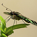 Malachite Butterfly by Roderick Bley