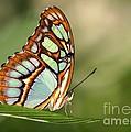 Malachite Butterfly by Sabrina L Ryan