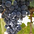Malbec Grapes On The Vine by Peter Langer