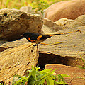 Male American Redstart On The Rocks by Roena King